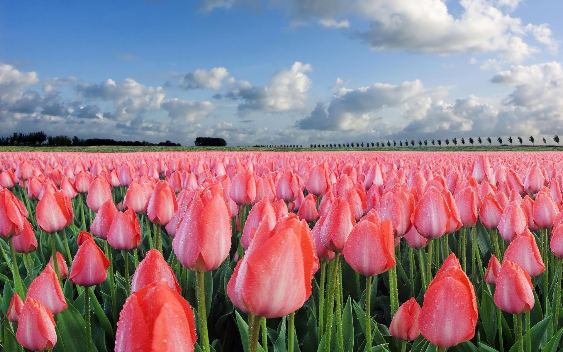 Как впервые вырастить домашний тюльпан