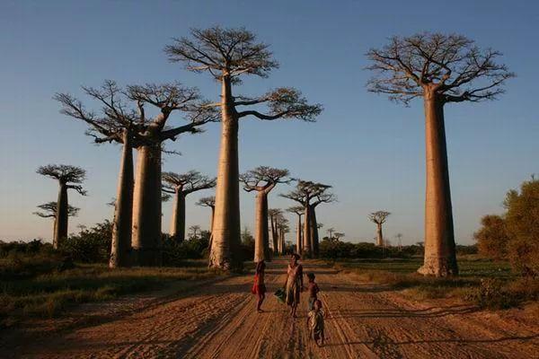 Интересные факты о баобабе: дереве, которое не горит в огне и живёт 5 тысяч лет