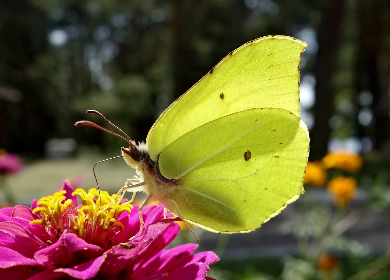 Как выглядит бабочка-лимонница?